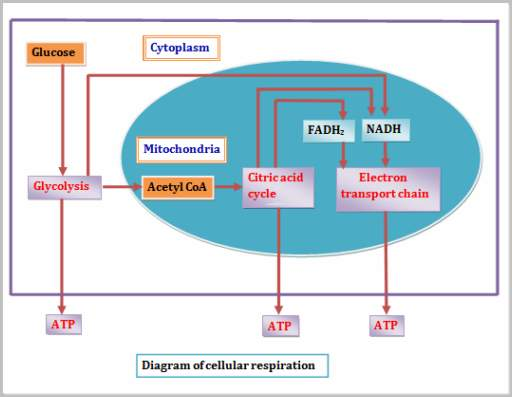 What is word chemical cellular respiration equation aerobic and cellular respiration is a process which happens inside the cells in which carbohydrates especially glucose is broken down for the energy to be released ccuart Choice Image