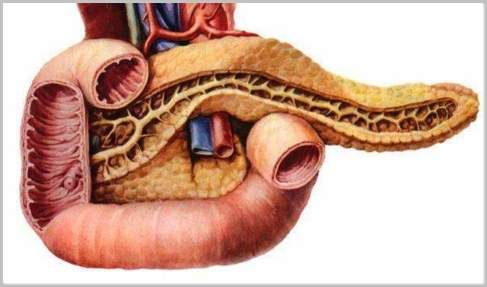 Structure And Function Of The Duodenum Actforlibraries