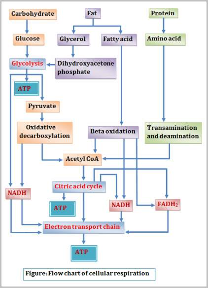 What Is Word Chemical Cellular Respiration Equation Aerobic And
