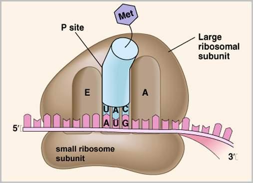 Ribosomes structure