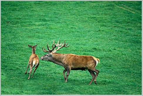 Whitetail Deer Mating Habits Deer Mating Whitetail Deer ...