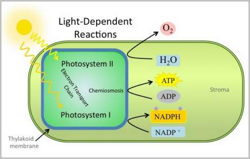 Light Reaction Reaction Steps Photosynthesis With Examples And Videos
