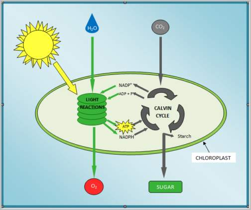 process of photosynthesis step by step Process of photosynthesis (step-by-step) the light-dependent reactions and the calvin cycle are the two main stages of photosynthesis in plants light-dependent.
