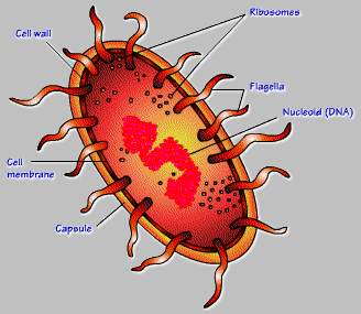 Diagram of a prokaryotic cell. Notice the internal organelles are not easily distinguishable.